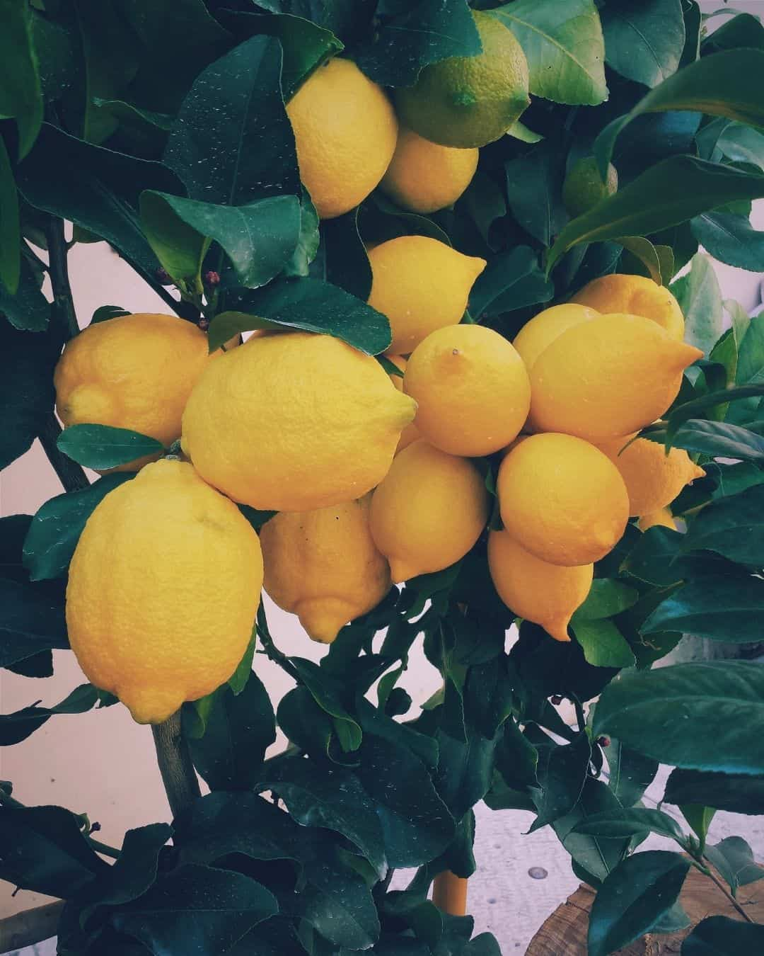 limoni di sorrento igp
