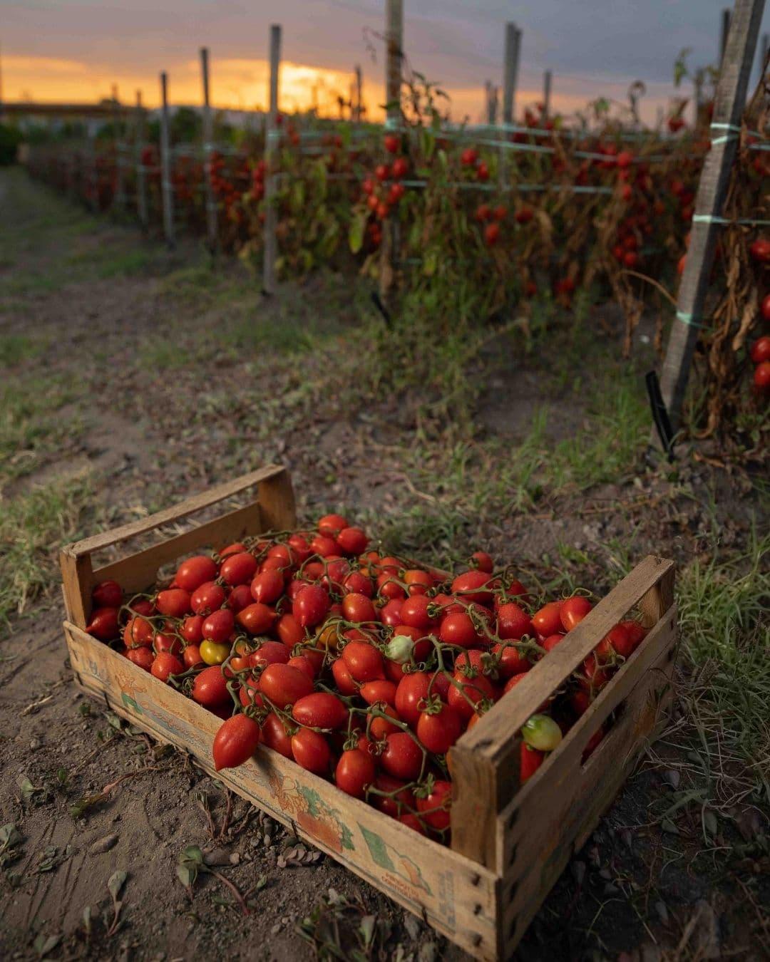 Pomodorini del piennolo del vesuvio dop in cassetta appena raccolti